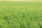 Field of oats<br /> Rosenhof<br /> Saskatchewan<br /> Canada