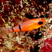Belted Cardinalfish hide during day in dard recesses in reefs, often form loose aggregations in caves in Tropical West Atlantic; picture taken Roatan, Honduras.