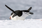 A Chinstrap Penguin (Pygoscelis antarctica) stretches whilst laying down on the snow, Half Moon Bay, Half Moon Island, Antarctica