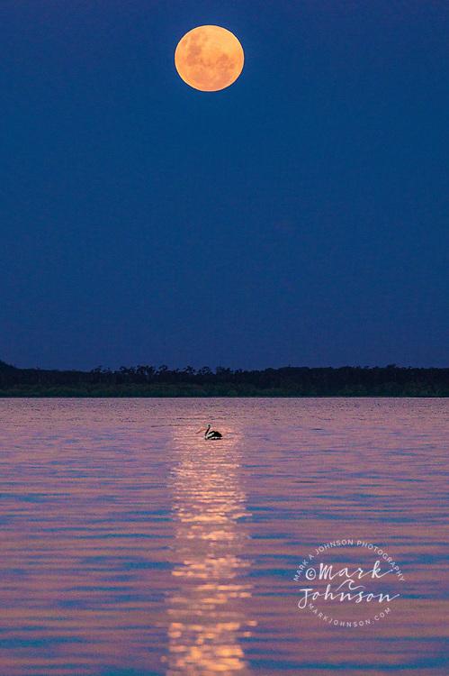 "Super Moon rising over Lake Cootharaba, with an Australian Pelican in the ""spotlight"", Elanda Point, Queensland, Australia"