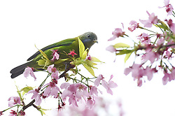 A bird rests on a cherry tree in Yongfu Town of Zhangping City, southeast Chian's Fujian Province, March 15, 2016. Blooming cherry and fresh tea leaves there formed an attractive picture. EXPA Pictures © 2016, PhotoCredit: EXPA/ Photoshot/ Jiang Kehong<br /> <br /> *****ATTENTION - for AUT, SLO, CRO, SRB, BIH, MAZ, SUI only*****