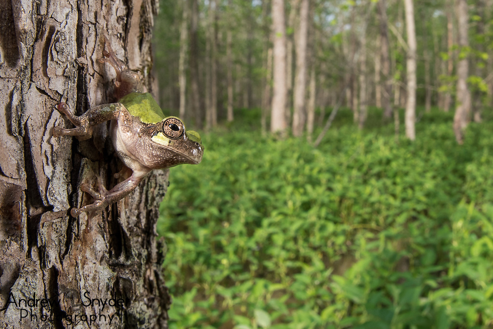 A bird-voiced tree frog (Hyla avivoca) perches above a Mississippi swamp - Water Valley, Mississippi