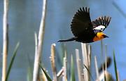 An Orange Heade Blackbird takes flight to cover in Jackson Hole, Wyoming