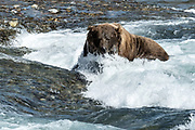 A large adult grizzly bear fishes for chum salmon in the upper McNeil River falls at the McNeil River State Game Sanctuary on the Kenai Peninsula, Alaska. The remote site is accessed only with a special permit and is the world's largest seasonal population of brown bears.