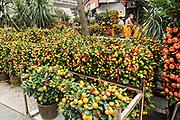 Miniature orange and mandarin trees on display at the Mong Kok Flower Market of Kowloon, Hong Kong.
