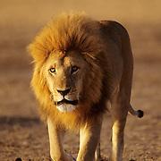 A portrait of a mature male lion in the Serengeti Plains. Masai Mara National Reserve, Kenya, Africa