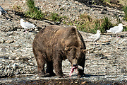 The alpha Grizzly bear boar known as Chops with a chum salmon caught in the upper McNeil River falls at the McNeil River State Game Sanctuary on the Kenai Peninsula, Alaska. The remote site is accessed only with a special permit and is the world's largest seasonal population of brown bears.