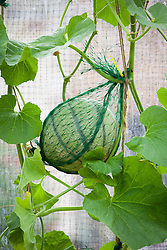 Melon in greenhouse supported with net
