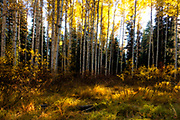Fall colors in aspen grove at Idaho's Ponderosa State Park
