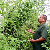 Vernon Gracia shows his tomato plants during a tour of the gardens for the Garden Party fundraiser Saturday at the Community Pantry in Gallup.