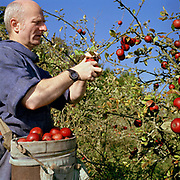 Father Rainer Verborg hand picking red apples at Ampleforth Abbey Orchard, Ampleforth, North Yorkshire.