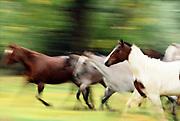 Horses in motion, Montana.