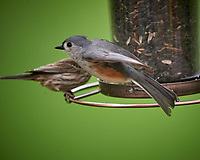 Tufted Titmouse. Image taken with a Nikon D4 camera and 600 mm f/4 VR lens