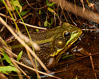Kermit the Bullfrog in my pond. Image taken with a Nikon 1 V3 camera and 70-300 mm VR lens.