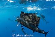 Atlantic sailfish, Istiophorus albicans, pack hunting for sardines, off Yucatan Peninsula, Mexico ( Caribbean Sea )