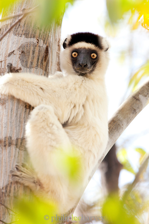 A Sifaka Lemur the dancing Lemur, at the Kirindy Mitea National Park, Madagascar