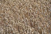 Nederland, Ubbergen, 18-8-2010Een veld met tarwe, graan is klaar om te oogsten. Tarweveld,graanveld.Foto: Flip Franssen/Hollandse Hoogte