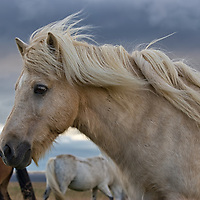 A white icelandic horse along the Ring Road in direction of the Brekka farm, northern Island.