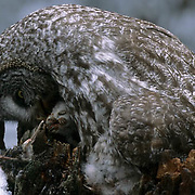 Great Gray Owl (Strix nebulosa) adult feeding it's chicks.