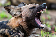 Sleepy African wild dog (Lycano pictus) from Kruger NP, South Africa.