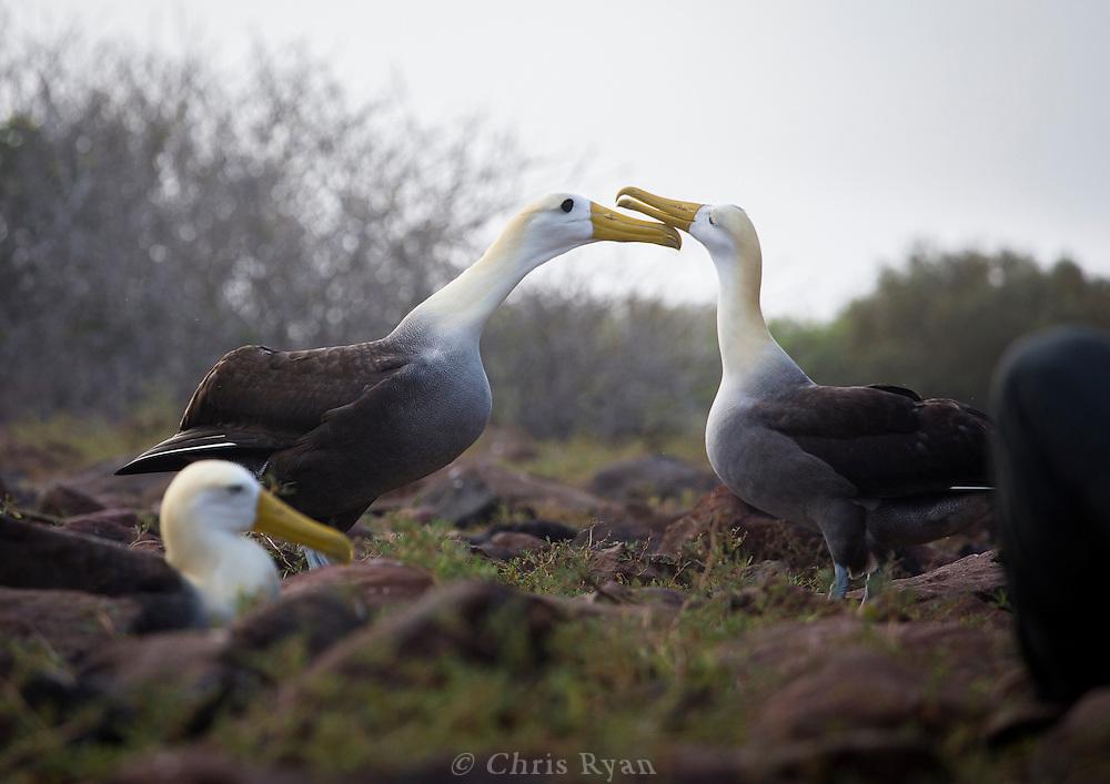 Waved Albatross, Galapagos