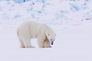 A young male polar bear (Ursus maritimus) listening beneath the ice for any movement of a seal, Svalbard, Norway