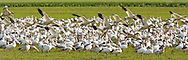 Snow Geese (Chen caerulescens)  landing at Fir Island, Skagit River Delta, WA, USA (panorama)