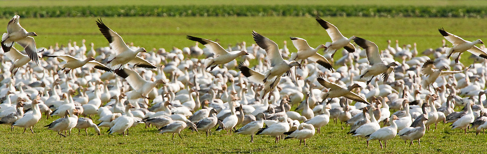 Snow Geese (Chen caerulescens)  landing at Fir Island, Skagit River Delta, WA, USA (panorama)