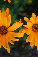 Two orange flower heads