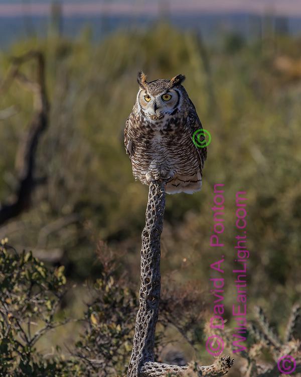Great-horned owl perched on a choya cactus skeleton, Sonoran Desert habitat, AZ, © David A. Ponton