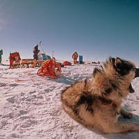 A sled dog yawns in a camp at the South Pole, about halfway through the 1989-1990 Trans-Antarctica Expedition.