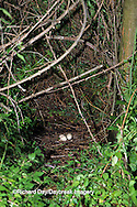 00780-00320 Turkey Vulture (Cathartes aura) nest with 2 eggs Marion Co.   IL