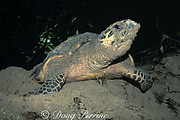 hawksbill sea turtle, Eretmochelys imbricata, <br /> covers nest after laying eggs on beach, Gulisaan Island, Sabah, Borneo, Malaysia