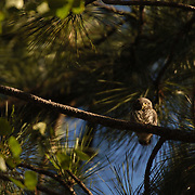 Northern Pygmy Owl (Glaucidium gnoma)Adult and fledgling. One of the smallest owls in North America. An aggressive predator, this owl will sometimes catch birds larger than itself, its favorite target is songbirds. Montana. Summer.