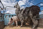 Llama & pig<br /> Calpi animal market<br /> Parish of Riobamba, Chimborazo Province<br /> Andes<br /> ECUADOR, South America