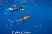 Mark Strickland photographs Atlantic sailfish, Istiophorus albicans, hunting sardines off Yucatan Peninsula, Mexico ( Caribbean Sea ) MR 405, 403