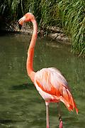 San Diego Zoo, Flamingo, California (SD)