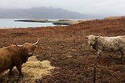 Longhorn cattle graze on moorland near Killunaig, Pennyghael, Isle of Mull, Scotland.