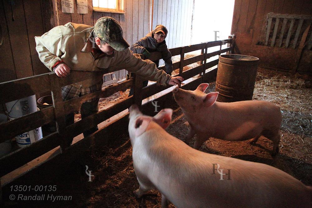Joseph Reer (14) and brother John (9) tends hogs on their family farm near Attica, Ohio.