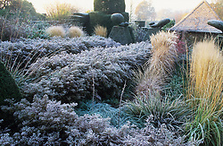 Frost in the Peacock Garden at Great Dixter with yew topiary, grasses and aster hedges - Aster lateriflorus 'Horizontalis'