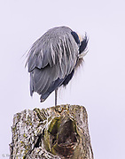 A Great Blue Heron rests its head along the side of its body in the early morning.