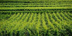 Vineyards near the village of Balbronn in Alsace, France<br /> <br /> (c) Andrew Wilson   Edinburgh Elite media