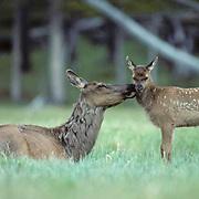 Elk, (Cervus elaphus) Cow grooming calf in meadow.Summer