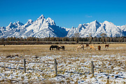 Horses graze idyllically by a fence beneath snow-covered Grand Teton, the highest mountain (13,775 feet) in Grand Teton National Park. Wyoming, USA.