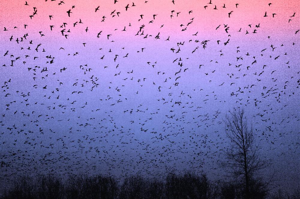 Ducks return to an inland pond after feeding in the  Salish Sea, January,  North Olympic Peninsula, Washington, USA