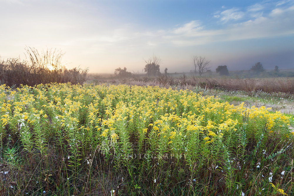 This Canada goldenrod (Solidago canadesis) was a glorious greeting in the early misty morning. Though it provides lovely color in early autumn, this particular species can become invasive in the prairie. The Canada goldenrod can multiply quickly and form dense large patches that prevent other species from establishing. Canada Goldenrod (Solidago canadensis)