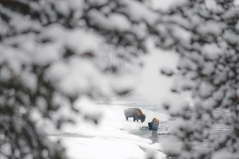 Bison feeding, Madison River, winter, Yellowstone National PArk, Wyoming, USA