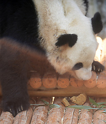 YANGZHOU, Sept. 14, 2016 (Xinhua) -- A giant panda eats a special moon cake with fillings of bamboo leaves ahead of the Mid-Autumn Festival at a zoo in Yangzhou City, east China's Jiangsu Province, Sept. 13, 2016. Chinese have the tradition to eat moon cakes at the Mid-Autumn Festival, which falls on Sept. 15 this year.(Xinhua/Meng Delong) (ry) (Credit Image: © Meng Delong/Xinhua via ZUMA Wire)