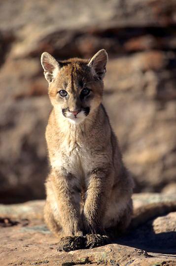 Mountain Lion or Cougar, (Felis concolor) Cub in canyon lands of Utah. Captive Animal.