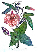 Machine colourised Target-Leaved Hibiscus or Musk Mallow (Hibiscus Abelmoschus) Copperplate engraving From the Encyclopaedia Londinensis or, Universal dictionary of arts, sciences, and literature; Volume IX;  Edited by Wilkes, John. Published in London in 1811
